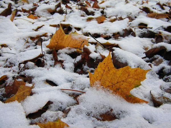 Schnee über Ahornlaub