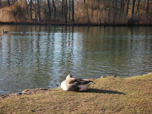 Graugans am Kleinhesseloher See