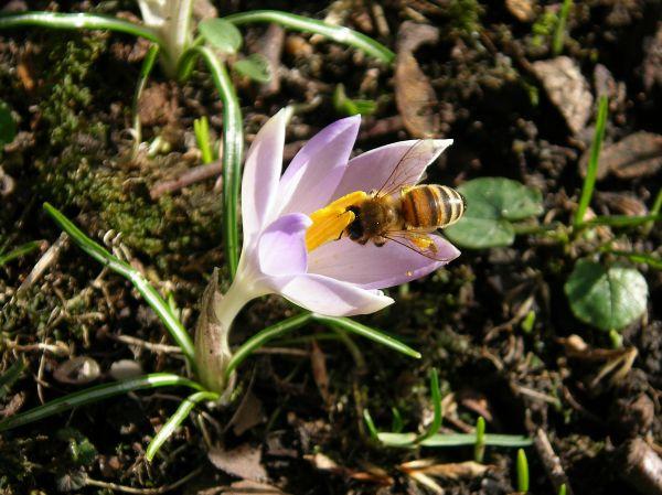 Wilder Krokus mit Biene