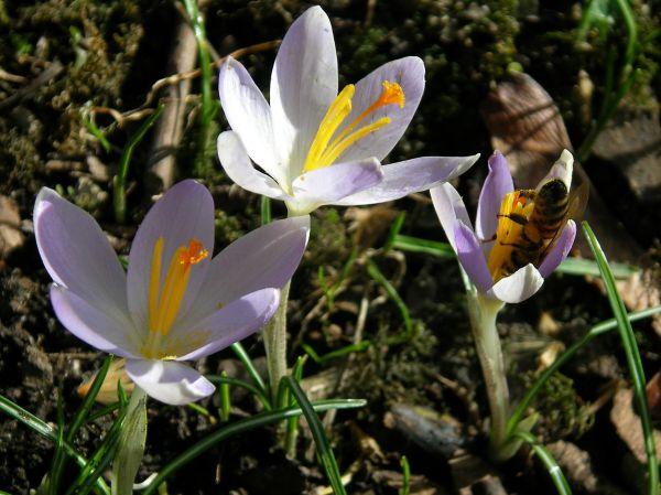 Biene am Wilden Krokus
