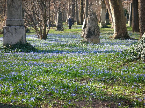 Teppich aus Blaustern im Alten Friedhof