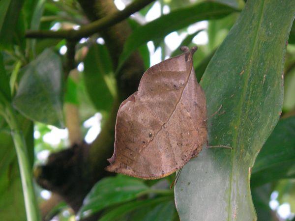 Schmetterling als Blatt getarnt