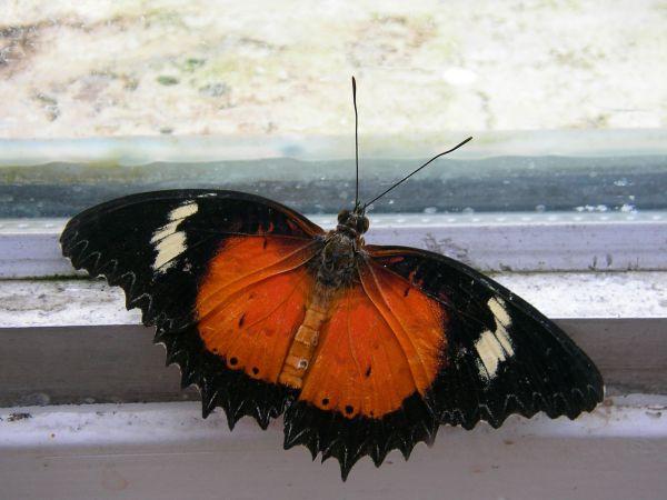 Schmetterling, sitzend am Fenster