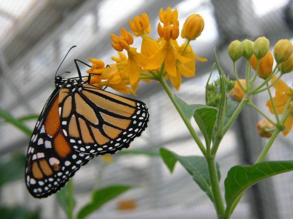 gelboranger Schmetterling an Blüten