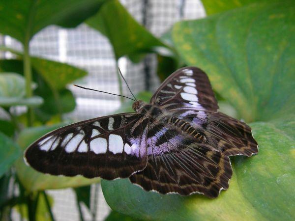 sitzender Schmetterling