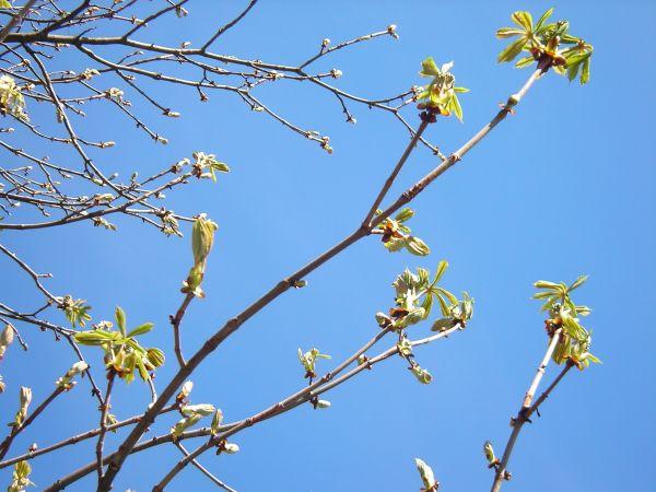 Rosskastanie - Knospen und junge Blätter