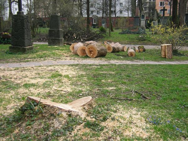 gefällter Baum im Alten Nördlichen Friedhof