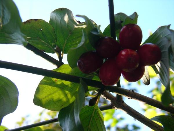 Kornelkirschen rot