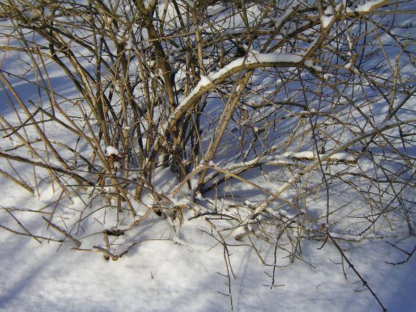 Strauch im Schnee