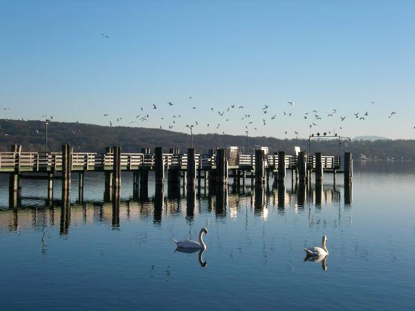 Schwäne im Starnberger See