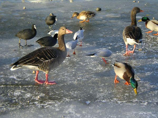 Wasservögel auf Eisfläche