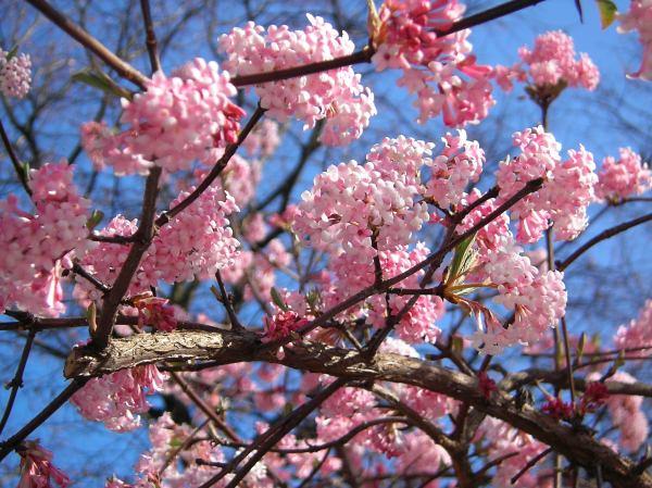 Strauch - rosa Schneeball
