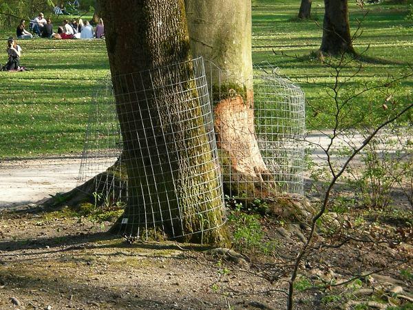 Baumstämme im Englischen Garten - mit Mantel und Biberschaden