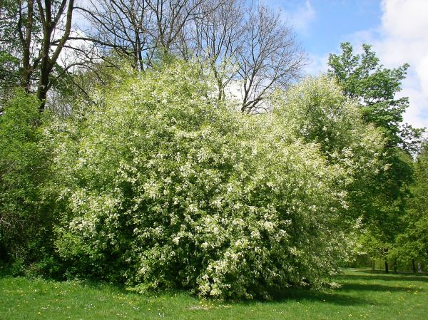 Frühling im Englischen Garten - Sträucher