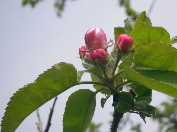 Obstbaum mit Blütenknospen