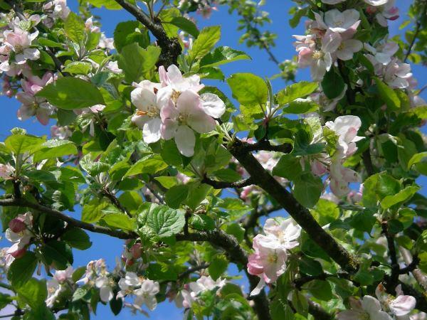 Obstbaum blüht