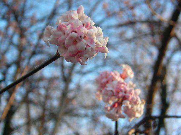 Duftschneeball oder Winterschneeball blüht