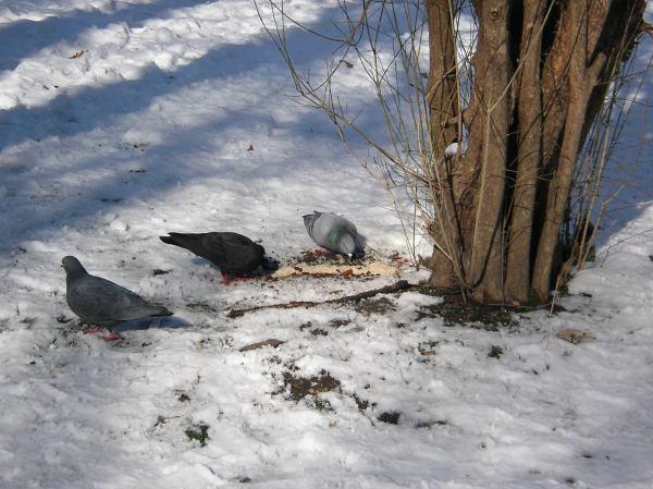 Tauben fressen Vogelfutter