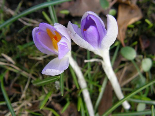 Krokus, kräftig lila blühend